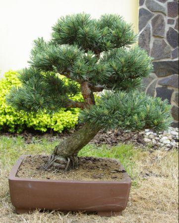 Veľké Pinus obrázky
