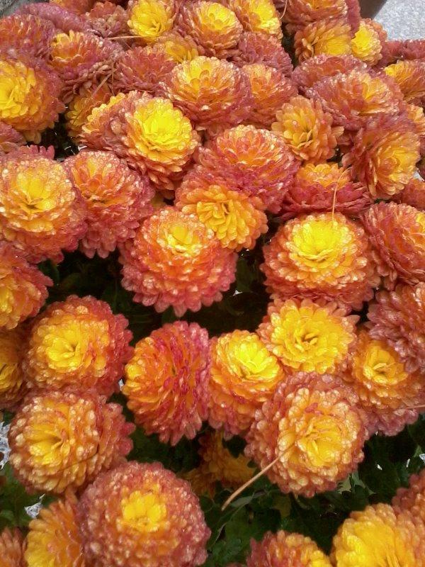 Oranžové chryzantémy, Autor: veronikapp