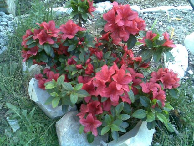Rododendron - Azalka indická