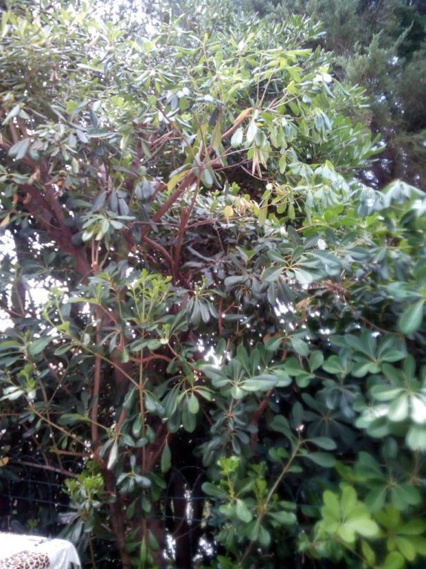 Plot z rododendronu