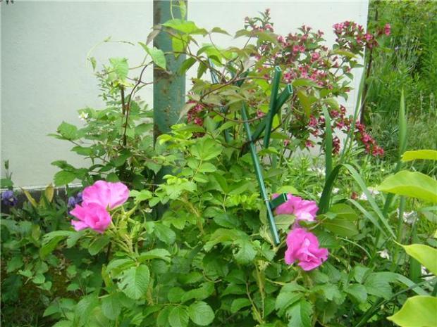Ruža vráskavá