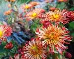 Čaro chryzantém